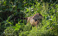 Jaguar (petraherdlitschke) Tags: pantanal brazil animals jaguar wildlife wildlifephotography outdoors nature naturephotography canon7dmark2 canonef70200 regenwald