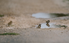 Wait for me (Inka56) Tags: crazytuesday threeofakind sparrows puddle three