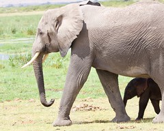 Little elly (Nagarjun) Tags: elephant calf baby animal safari wildlife amboselinationalpark kenya africa mamma mother