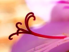 CONTRASTES (Pedro Muñoz Sánchez) Tags: macro flor nature colors contrastes contrants