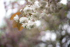 Blossom and Bokeh. Taken in Scotland's National Book Town of Wigtown. Explored. (jillyspoon) Tags: blossom bokeh pink wigtown wigtownshire scotland southwestscotland spring trees texture sony sonya7iii sigma sigmamc11 canon canon50mm