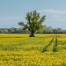 Lonely tree in rapeseed yellow field