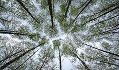 Above (Greg Adams Photography) Tags: spring trees above sprouting towering washington usa nature hhsc2000 travels 2019 trunks many