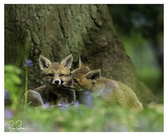 love in wonderland (richgparkes) Tags: red fox cubs bluebells brothers sisters animal spring nature love