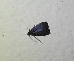 Elaphristis species (Cephonodes) Tags: australian moths hypeninae
