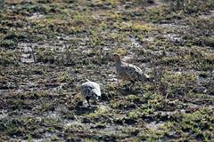 Chestnut-bellied sandgrouse,  Ndutu, Ngorongoro Conservation Area, Tanzania (inyathi) Tags: africa eastafrica tanzania africananimals africanwildlife africanbirds birds sandgrouse chestnutbelliedsandgrouse pteroclesexustus