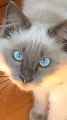 Jerry Closeup (Br0wNP!cTurEs) Tags: animals animal pet pets cat cats kitten australia australian cute