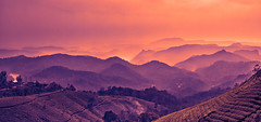 Tea gardens and hills beyond (Rajiv Lather) Tags: tea gardens hills kerala india sunset mist colors image photograph photo pic digital camera canon wideangle landscape mountains nilgiri photography indian lens eos plantation contrast ridges crests