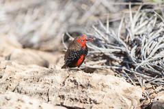 Painted Finch (Emblema pictum), male (sam_hierofalco) Tags: aves estrildidae emblema pictum