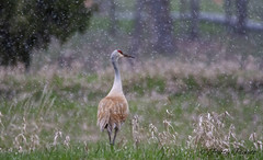 sandhill crane (Pattys-photos) Tags: sandhill crane swanvalley idaho snow pattypickett4748gmailcom pattypickett