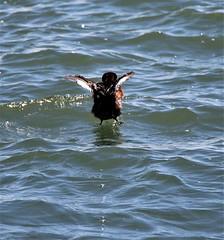 Horned Grebe. (Gillian Floyd Photography) Tags: horned grebe water bird