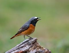 Male Redstart (wryneck94) Tags: birdwatching surrey