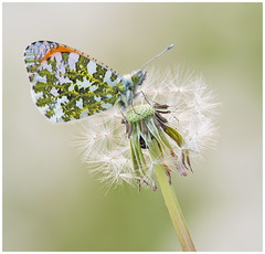 Orange Tip (nigel kiteley2011) Tags: orangetip anthochariscardamines lepidoptera butterfly butterfrlies macro nature insects canon 5dmk3 sigma180mm