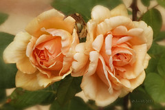 All who joy would win must share it. Happiness was born a Twin. (Lord Byron) (boeckli) Tags: flowers hahndorf roses flower flora fleur nature natur southaustralia blumen blume blüten blossom bloom blossoms blooms orange rosen rose outdoor 006352 rx100m6