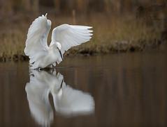 Snowy Egret 4_30 1 (krisinct- Thanks for 15 Million views!) Tags: nikon d850 500 f4 vrg