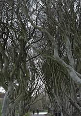 kingsroad2 (Shannon O'Haire) Tags: got gameofthrones ireland northofireland northernireland kingslanding kingsroad bregaghroad trees darkhedges nature tvshows gothsintrees