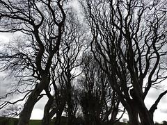 Birchbranch (Shannon O'Haire) Tags: got gameofthrones ireland northofireland northernireland kingslanding kingsroad bregaghroad trees darkhedges nature tvshows gothsintrees