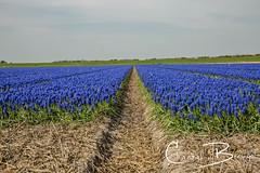 Blauwe druifjes (Chantal van Breugel) Tags: bloemenbloembollen landschap bloemenveld blauwedruifjes noordholland april 2019 canon5dmark111 canon24105