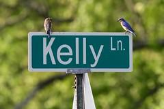Bluebirds_1353 (2) (Porch Dog) Tags: 2019 garywhittington kentucky april nature neighborhood yard home bluebird avian feathers