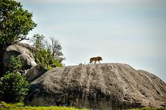 Le Lion règne @ Serengeti (gabrionnkosi) Tags: wildlife simba lion tanzanie tanzania serengeti safari