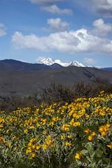 Full on Springtime (Ed.Stockard) Tags: arrowleafbalsamroot wildflower spring bloom springtime flowers methow methowvalley mtgardiner yellow wa washington clouds