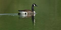 Bernache du Canada - Branta canadensis - Canada Goose (olivier.amiaud) Tags: bernache oie oiseau branta goose anatidé étang eau