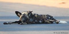 African Wild Dog (leendert3) Tags: leonmolenaar southafrica krugernationalpark wildlife nature mammal africanwilddog ngc coth5 npc
