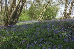 Bluebells at Wayland Wood (hedgehoggarden1) Tags: bluebells wildflowers flora trees wood ancientwoodland waylandwood nature sonycybershot norfolk eastanglia uk flowers sony breckland naturereserve