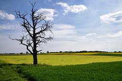 L'arbre mort (Croc'odile67) Tags: nikon d3300 sigma contemporary 18200dcoshsmc paysage landscape arbre tree campagne cloud ciel sky champ colza