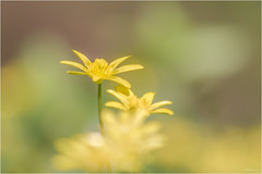Lonely at the top (Mariannevanderwesten) Tags: macro bokeh speenkruid bloem flower geel nature natuur nikon voorjaar spring celandine yellow