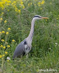 Heron at Ham Wall RSPB (DougRobertson) Tags: rspb hamwall heron wader animal wildlife nature bird birdwatcher somerset