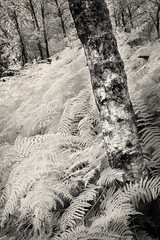 Penny Rock Wood | Cumbria (Weir View) Tags: photo intimatelandscape pennyrockwood cumbria england silverbirch ferns woodland infrared