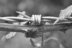 Entwined.... (markwilkins64) Tags: barb barbedwire bokeh depthoffield shallowdepthoffield dof markwilkins macro wire mono monochrome blackandwhite bw thorns leaves