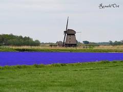 Mill with a field of grape hyacinth in front / molen met daarvoor een veld met blauwe druifjes (ronaldort1311) Tags: grapehyacinth blauwedruifjes molen mill