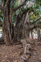 Living Roots (michael.heiss) Tags: sizilien sicily italien italy baum wuzeln tree roots living alive lebendig lebend