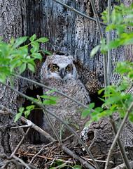 Young Great Horned Owl in Nest (William Jobes) Tags: greathornedowl owl bubovirginianus mraptor birdofprey fledgling babyowl youngowl bird nature owlsnest birdnest