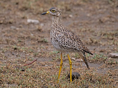 Spotted Thick-knee Burhinus c. capensis (nik.borrow) Tags: bird thickknee dikkop wader ndutu
