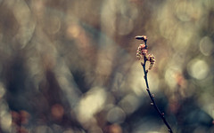 Puppet-show (akigabo) Tags: nature montreal bokeh plant flower sunset dusk light shadows life canon 700d outside countryside woods composition dof 50mm eos rebel simplicity dsrl minimal