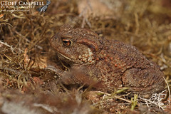 Common Toad (Bufo bufo) (gcampbellphoto) Tags: amphibian breeding macro nature naturephotography spring wildlife wildlifephotography commontoad bufobufo scotland cairngorms gcampbellphoto