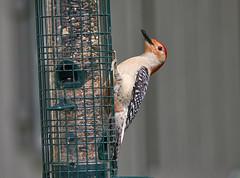 Red-bellied Woodpecker (mmorriso2002) Tags: bird redbelliedwoodpecker nature wildlife backyardhabitat