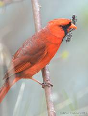 Cardinal (Arvo Poolar) Tags: outdoors ontario canada scarborough rosettamcclaingardens arvopoolar bird perched nature naturallight natural naturephotography nikond500 northerncardinal