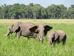 Elephants (lsmadison) Tags: masaiimara kenya africa elephants wildlife nature landscape elephant nationalpark