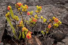 Mauna Ulu, Kilauea, Hawaii Volcanoes National Park, Hawaii (Roger Gerbig) Tags: maunaulu hawaiivolcanoesnationalpark kilauea volcano hawaii bigisland island rogergerbig canoneos5dmarkii canonef24105mmf4lisusm 3343 volcaniccone easternriftzone