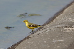 Male Yellow Wagtail (Georgiegirl2015) Tags: yellowwagtail male dellalackwildlifephotography wagtail birds farmoor oxfordshire canon countryside reservoir water sunny spring2019 april2019 summervisitor sewerage works nature wildlife woodlands 5d 500mm