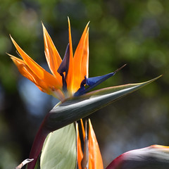 Bird of Paradise (earthdog) Tags: 2019 nikon nikond5600 d5600 18300mmf3563 santaclara greatamerica amusementpark park themepark plant flower birdofparadise