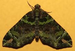 Hammaptera (Birdernaturalist) Tags: geometridae hydriomenini larentiinae lepidoptera moth peru richhoyer
