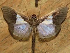 moth (Birdernaturalist) Tags: crambidae cusco lepidoptera moth peru richhoyer