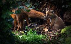 Fox cub bites Mother's tail (mond.raymond1904) Tags: fox cub dublin dodder river bites mother tail