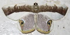 Opisthoxia laticlava (Birdernaturalist) Tags: cusco ennominae geometridae lepidoptera moth peru richhoyer