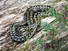 Male Adder (Chalto!) Tags: reptilecentre newforest lyndhurst snake reptile adder viper captive hampshire